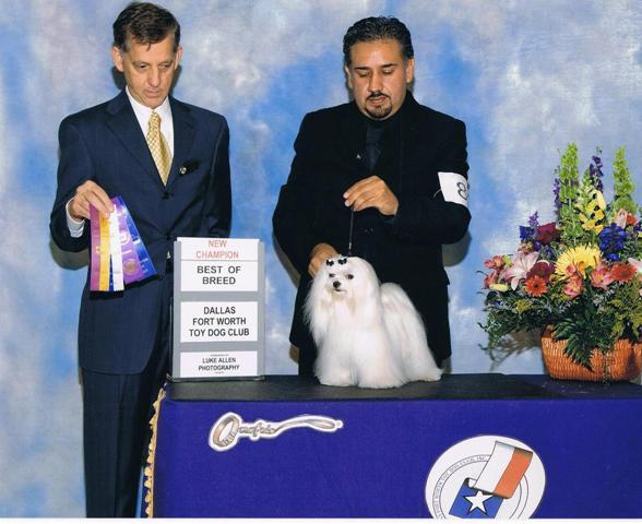 Maltese AKC Champion Pure Silk Susens Magical Sabina